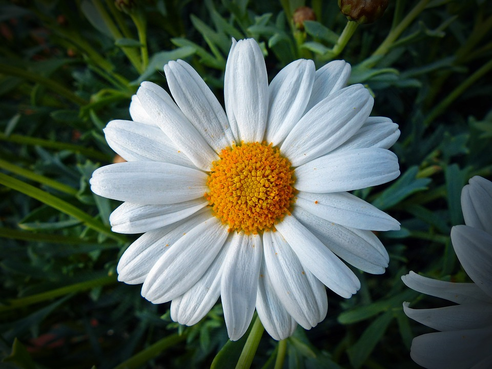 Marguerite, Flower, Blossom, Bloom, Yellow, Nature