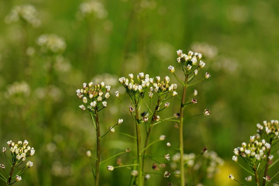 Ordinary Shepherd's Purse, Plant, Blossom, Bloom, White