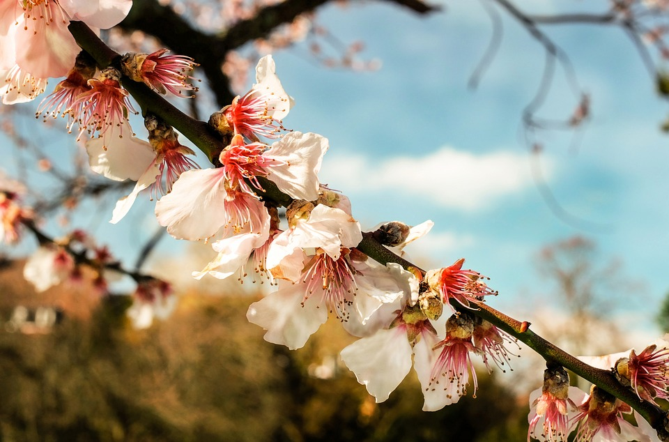 Ornamental Cherry, Blossom, Bloom, Flowering Twig, Pink