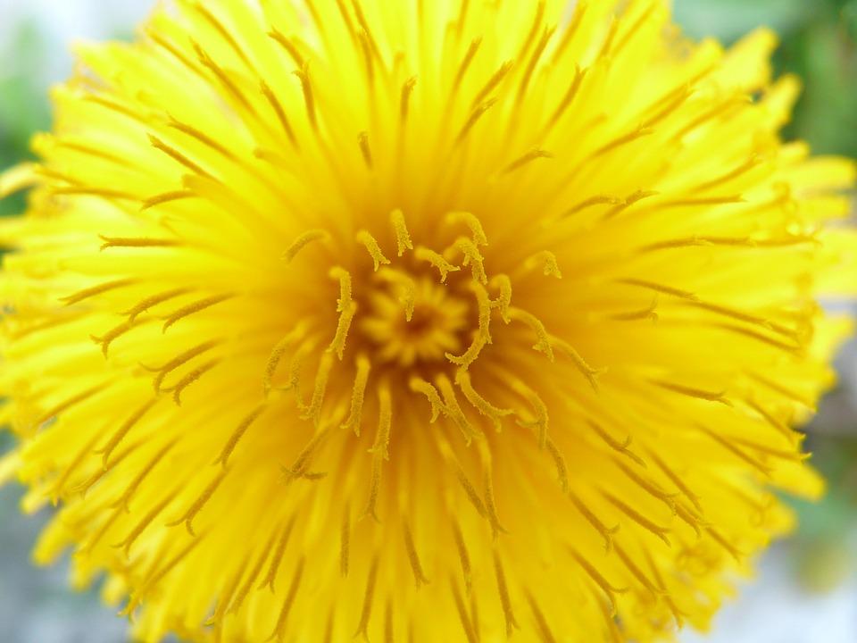 Dandelion, Flower, Blossom, Bloom, Plant, Bloom