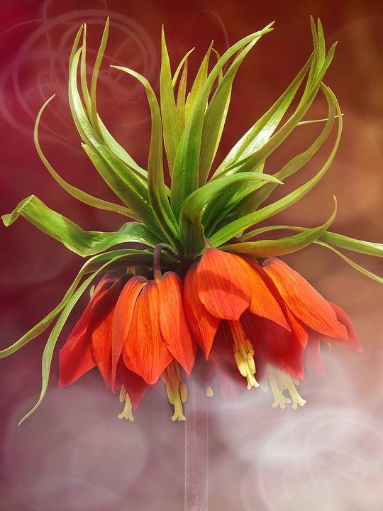 Imperial Crown, Flower, Blossom, Bloom, Plant, Orange