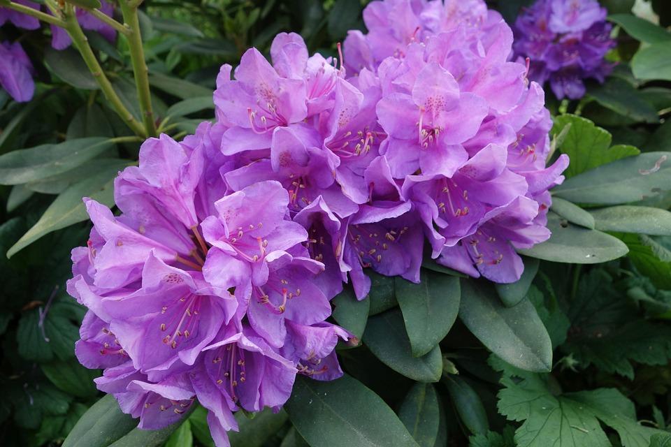 Rhododendron, Purple, Garden, Blossom, Bloom