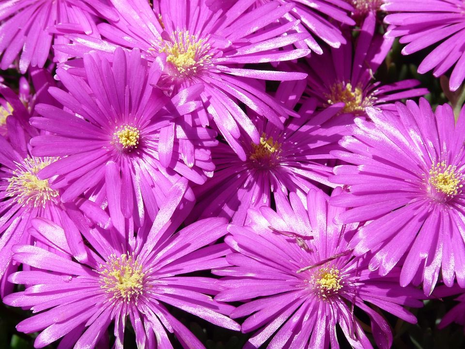 Red Mittagsblume, Ice Plant, Flower, Blossom, Bloom