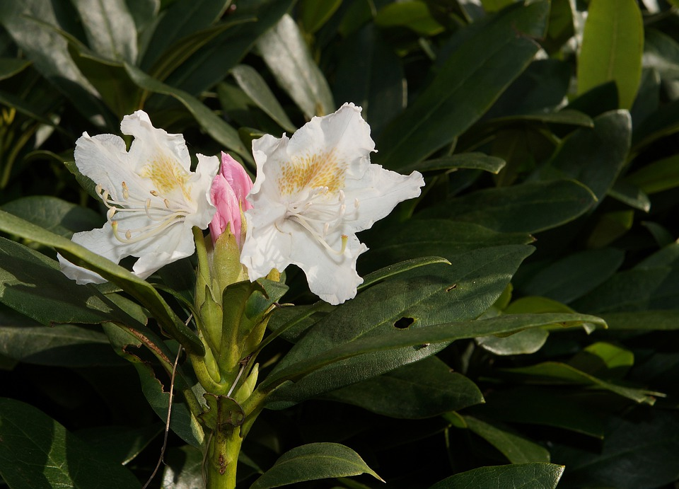 Rhododendron, Rhododendron Hirsutum, Blossom, Bloom