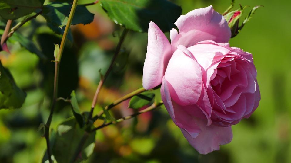Nature, Garden, Flower, Rose, Pink, Blossom, Bloom