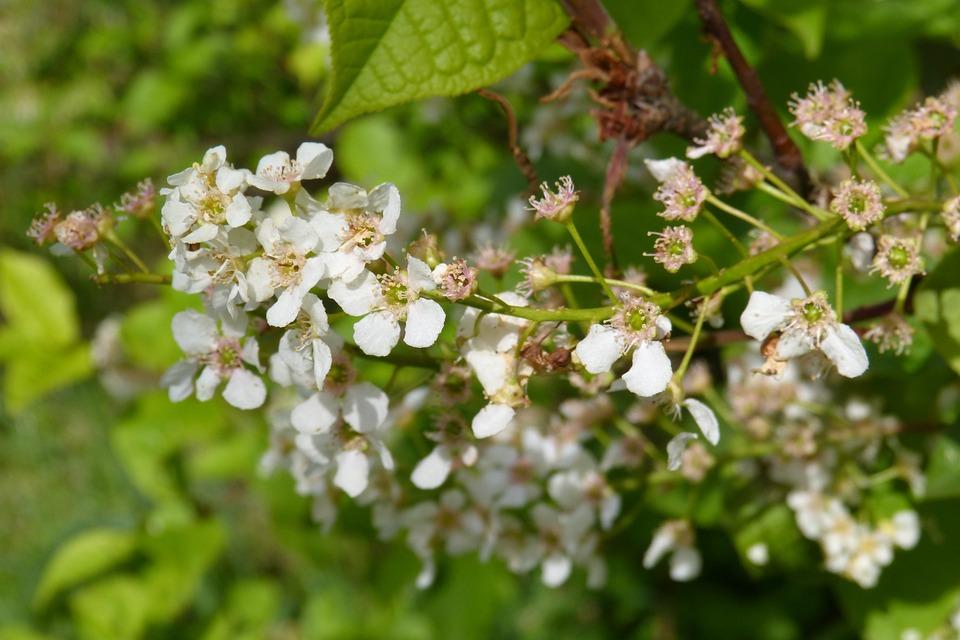 Black Cherry, Blossom, Bloom, Spring, Else Cherry