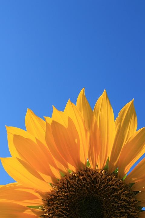 Sunflower, Blue, Sky, Flower, Blossom, Summer, Bloom