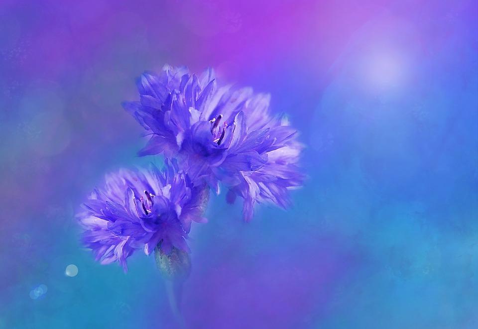 Flowers, Cornflowers, Blue, Blossom, Bloom, Summer