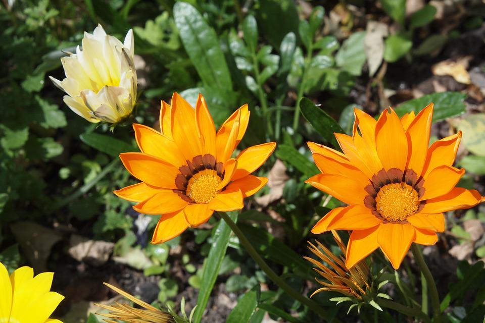 Gazania, Orange, Flower, Flora, Blossom, Bloom, Summer