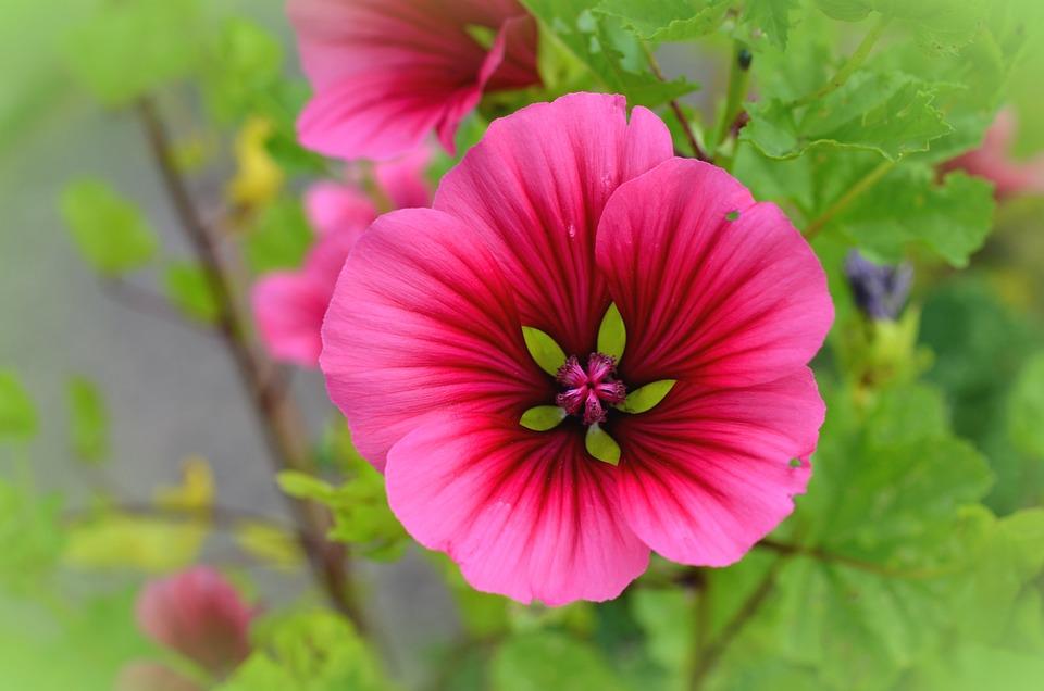 Mallow, Blossom, Bloom, Flower, Garden, Pink, Summer
