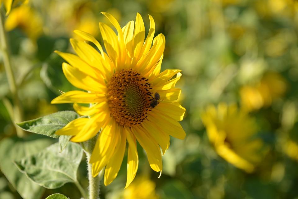 Sun Flower, Nature, Summer, Flowers, Blossom, Bloom