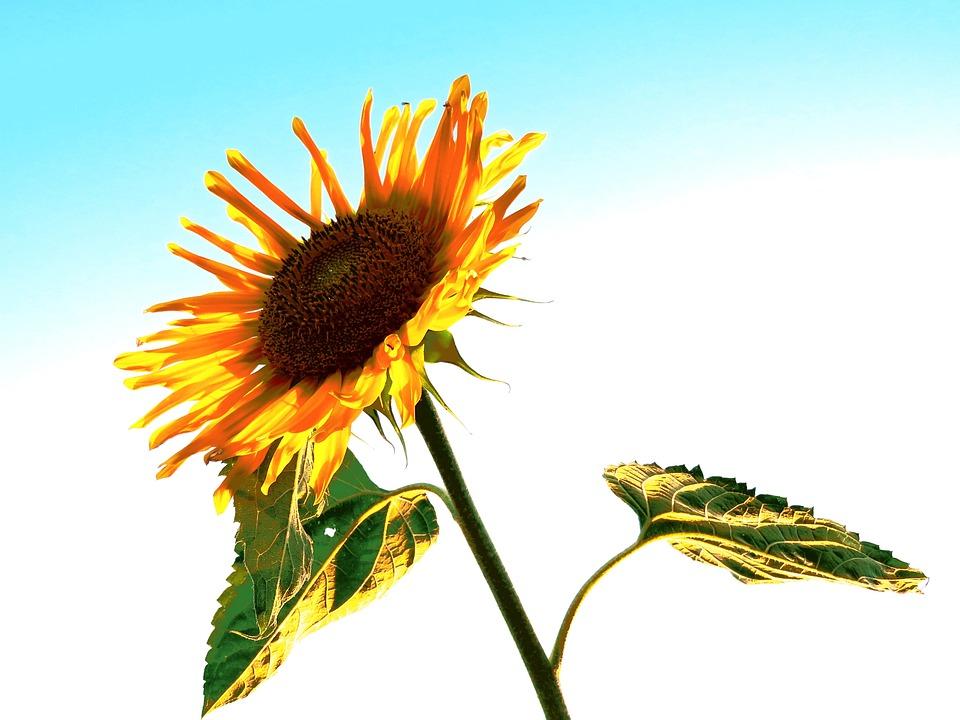 Sun Flower, Yellow, Sky, Blossom, Bloom, Flower