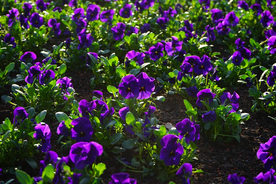 Pansy, Flower, Blossom, Bloom, Violet, Viola, Violaceae