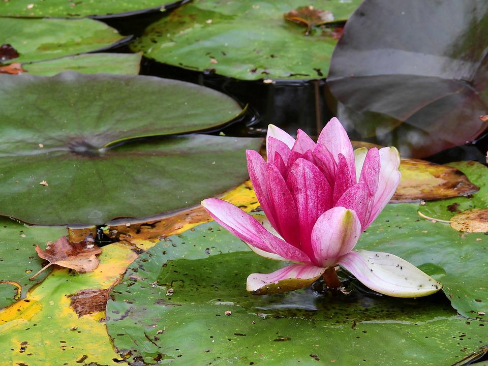 Flower, Water, Lake, Water Lily, Nature, Blossom, Bloom