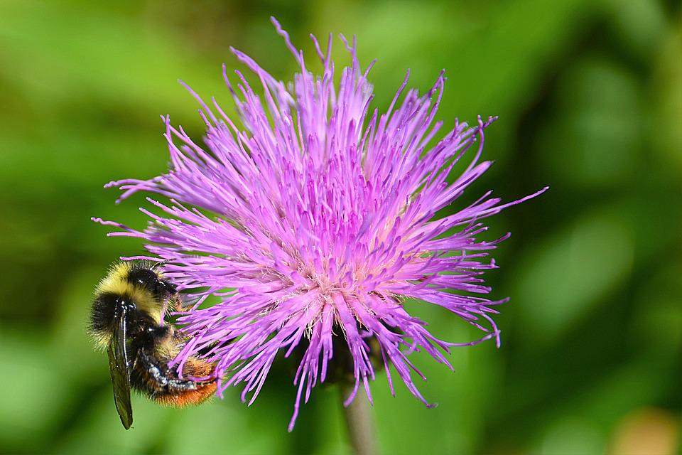 Wegdistel, Hummel, Mountain Bumblebee, Blossom, Bloom