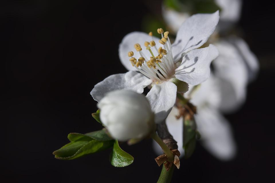 Mirabelle, Blossom, Bloom, Bud, White