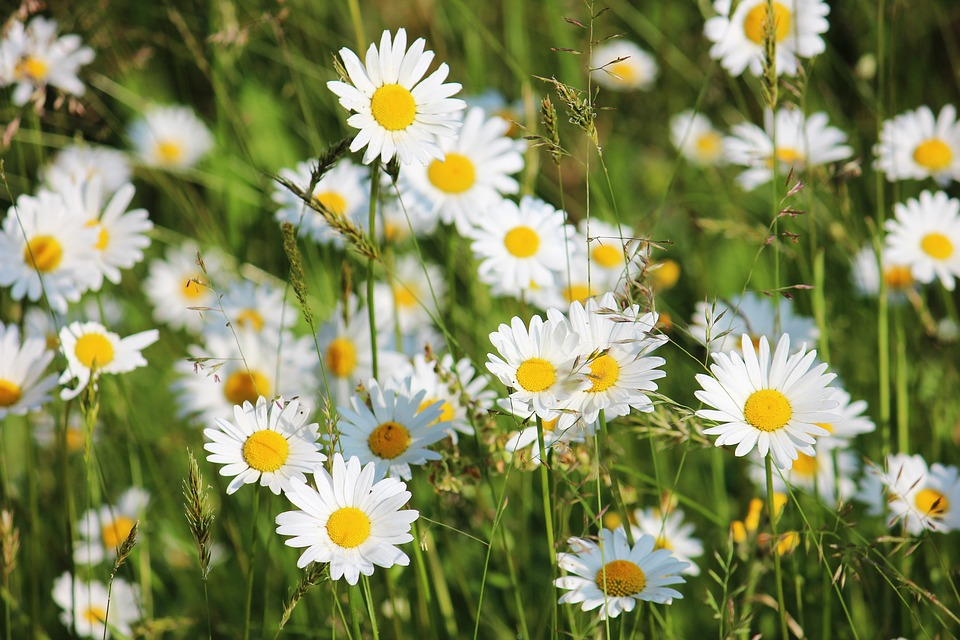 Daisies, Meadow, White, Blossom, Bloom, Wild Flowers