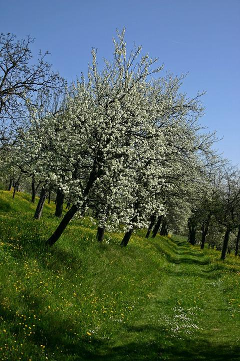 Orchard, Tree, Blossom, Bloom, Bloom, White, Fruit
