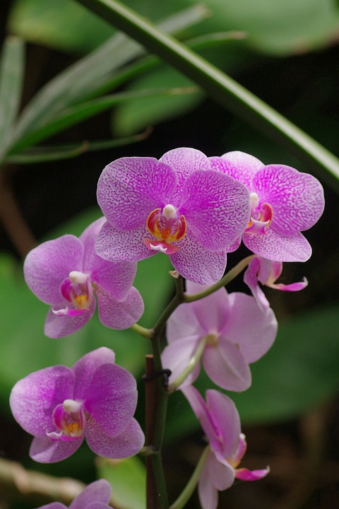 Orchid, Wild Orchid, Blossom, Bloom, Pink, Plant, Close