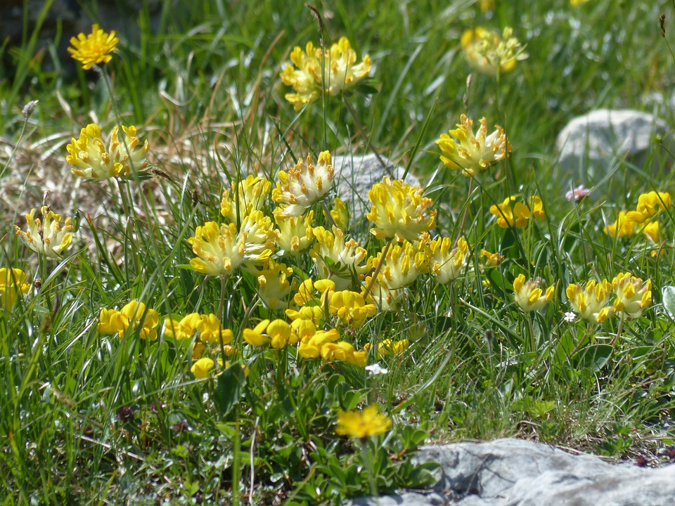 Free photo blossom bloom yellow flower kidney vetch max pixel kidney vetch flower blossom bloom yellow mightylinksfo