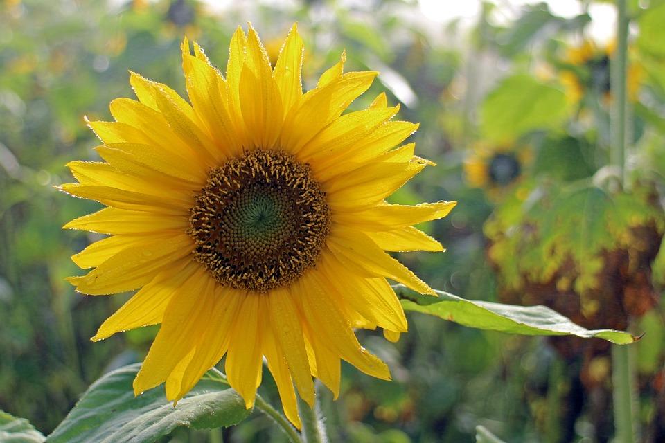 Sun Flower, Flower, Yellow, Plant, Blossom, Bloom
