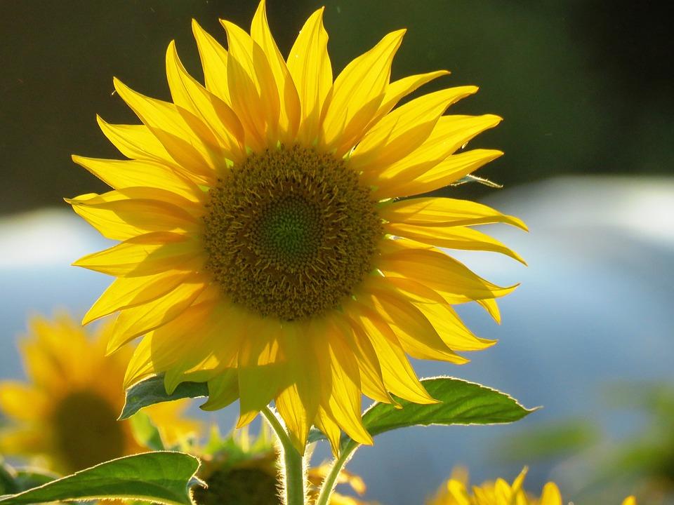 Sun Flower, Yellow, Blossom, Bloom, Summer