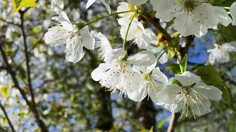 Blossom, Bloom, Tree, Blossom, Nature