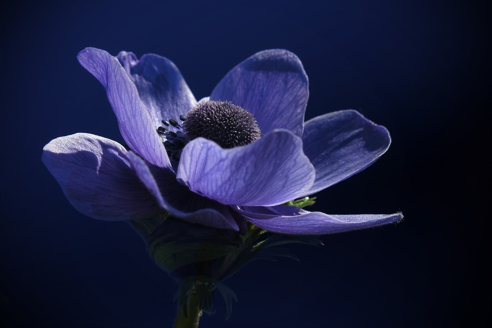 Anemone, Blue, Spring, Nature, Blossom, Bloom, Plant