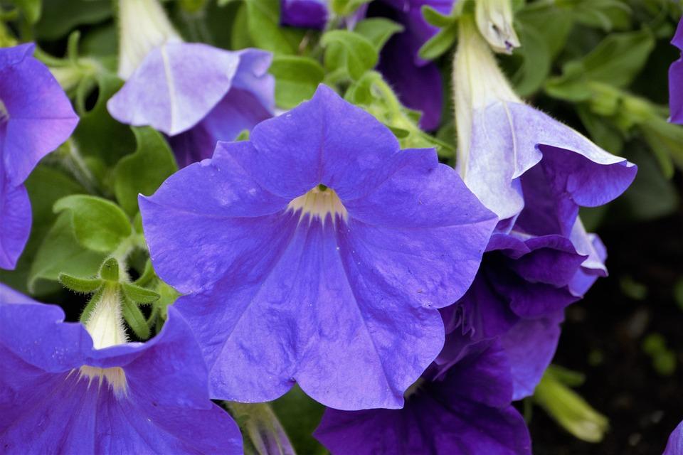 Flower, Blue, Blue Flower, Close, Blossom, Bloom, Macro