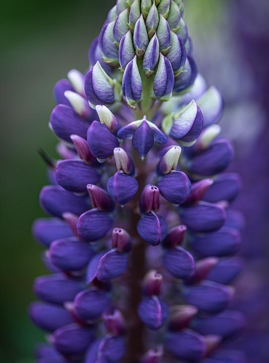 Lupine, Violet, Blue, Macro, Blossom, Bloom, Flower