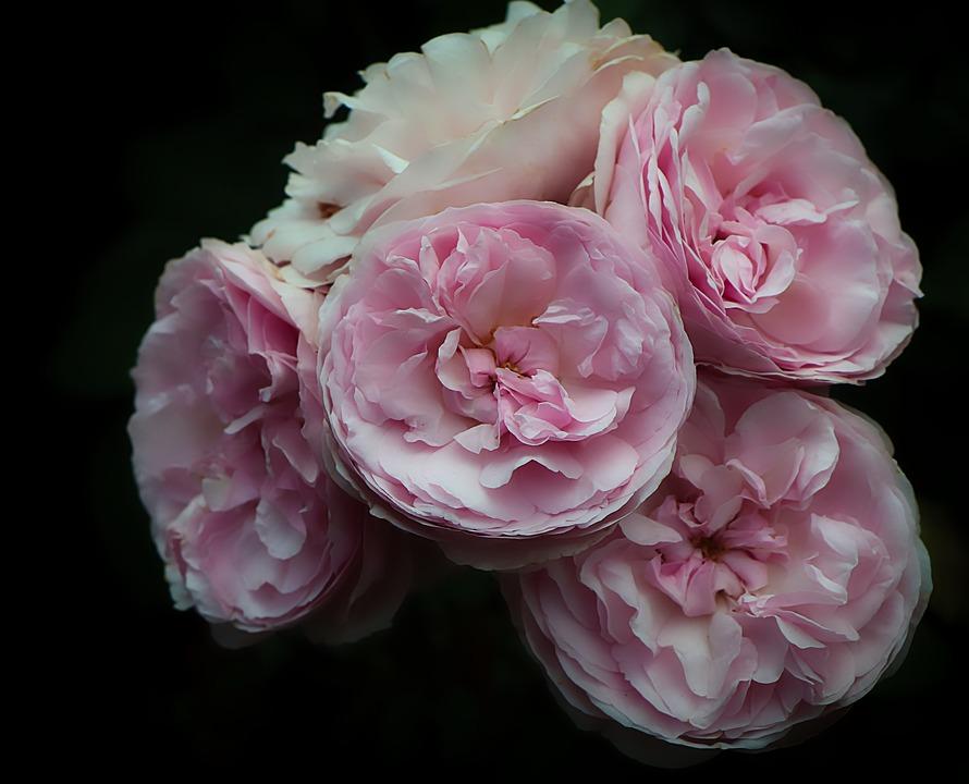 Rose, Flower, Pink, Bloom, Blossom, Flora, Bouquet