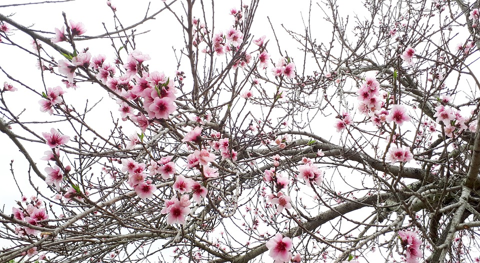 Blossom, Blossoms, Spring, Pink, Bloom, Nature, Branch