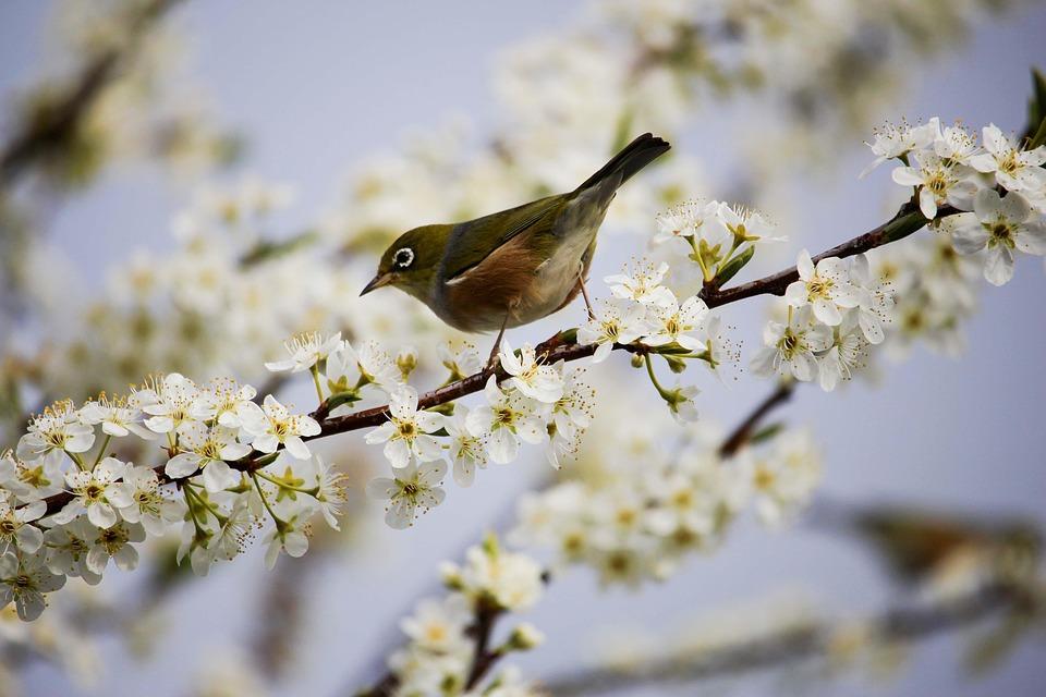 Blossom, White, Bird, Spring, Branch, Tree