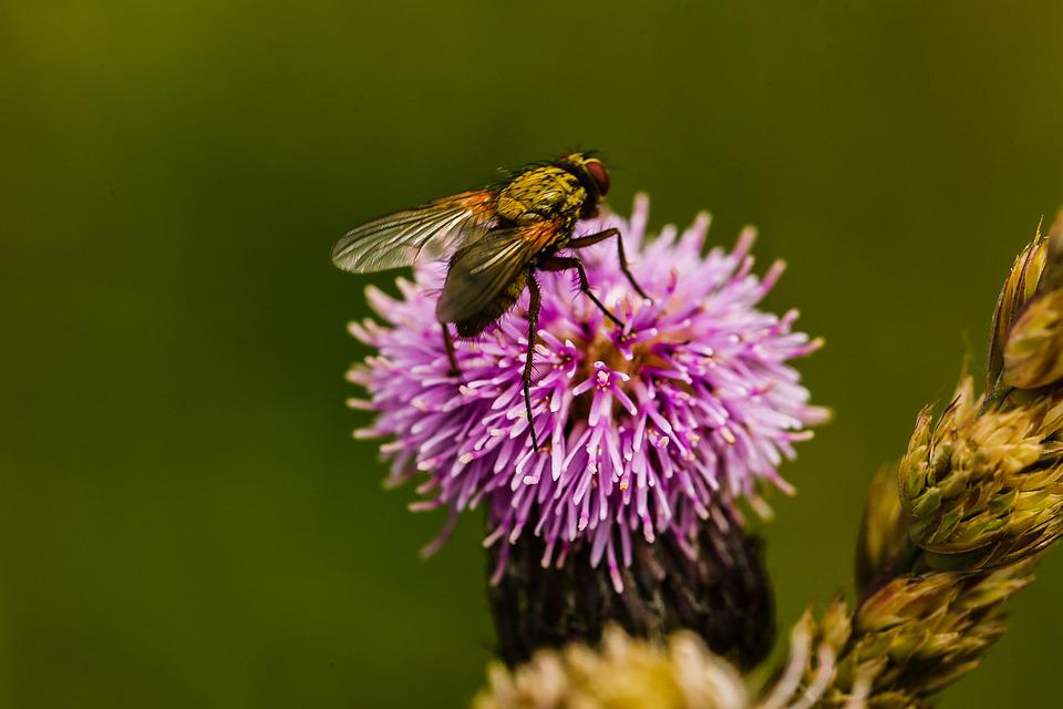 Fly, Insect, Bug, Flower, Nature, Blossom, Summer