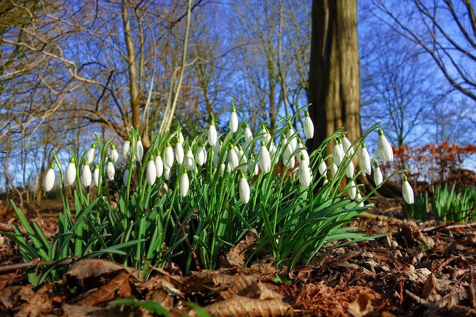 Snowdrop, Galanthus, Flower, Blossom, Plant, Bulbous