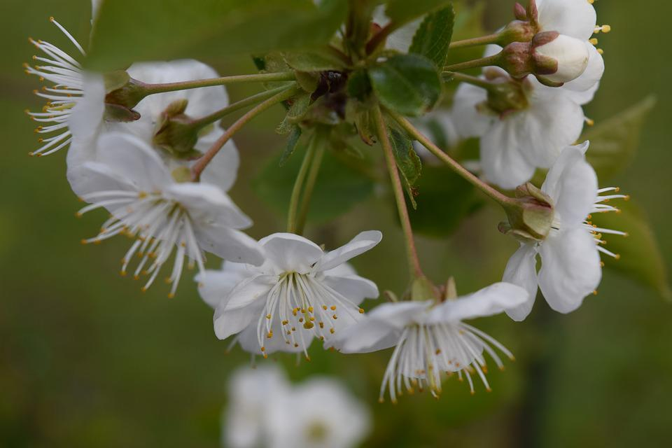 Cherry Blossoms, Blossom, Bloom, Fruit Tree, Cherry