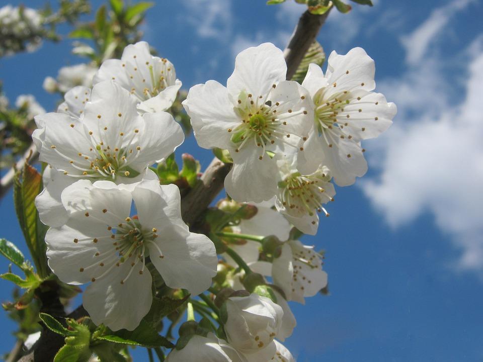 Cherry Blossom, Blossom, Bloom, White, Sunny, Spring