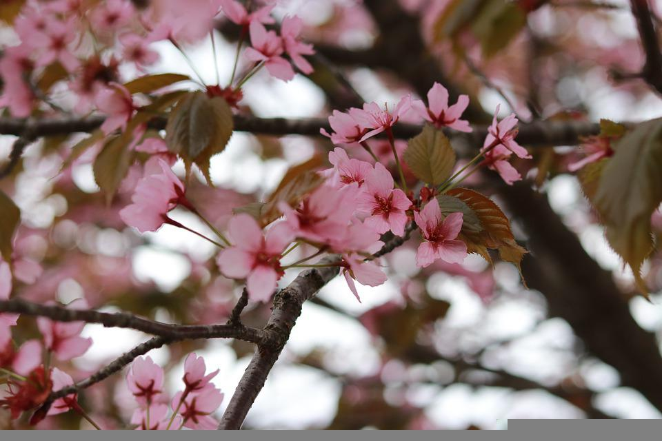Cherry Blossoms, Pink Flowers, Tree, Branches, Blossom