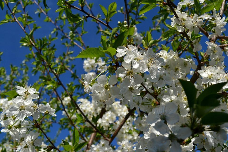 Flower, Cherry, Spring, Nature, Floral, Blossom, White