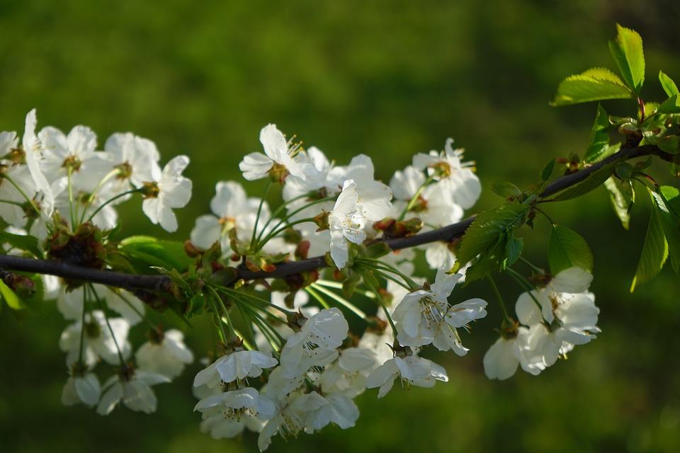 Cherry Blossom, Blossom, Bloom, Cherry, White, Branch