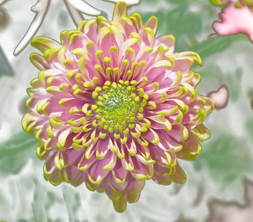 Chrysanthemum, Blossom, Bloom, Flower, Plant, Flora