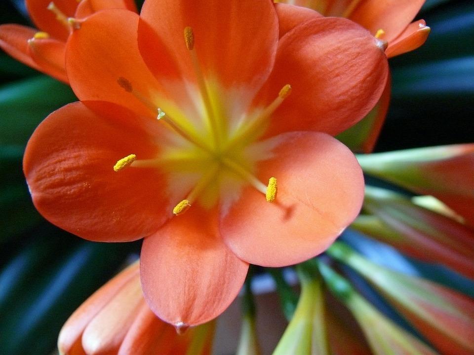 Clievie, Close, Flower, Plant, Blossom, Bloom