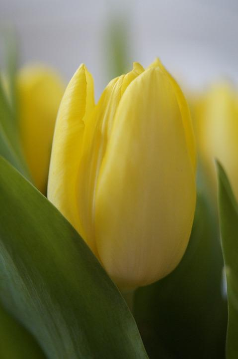 Tulips, Yellow, Flower, Blossom, Bloom, Close, Spring