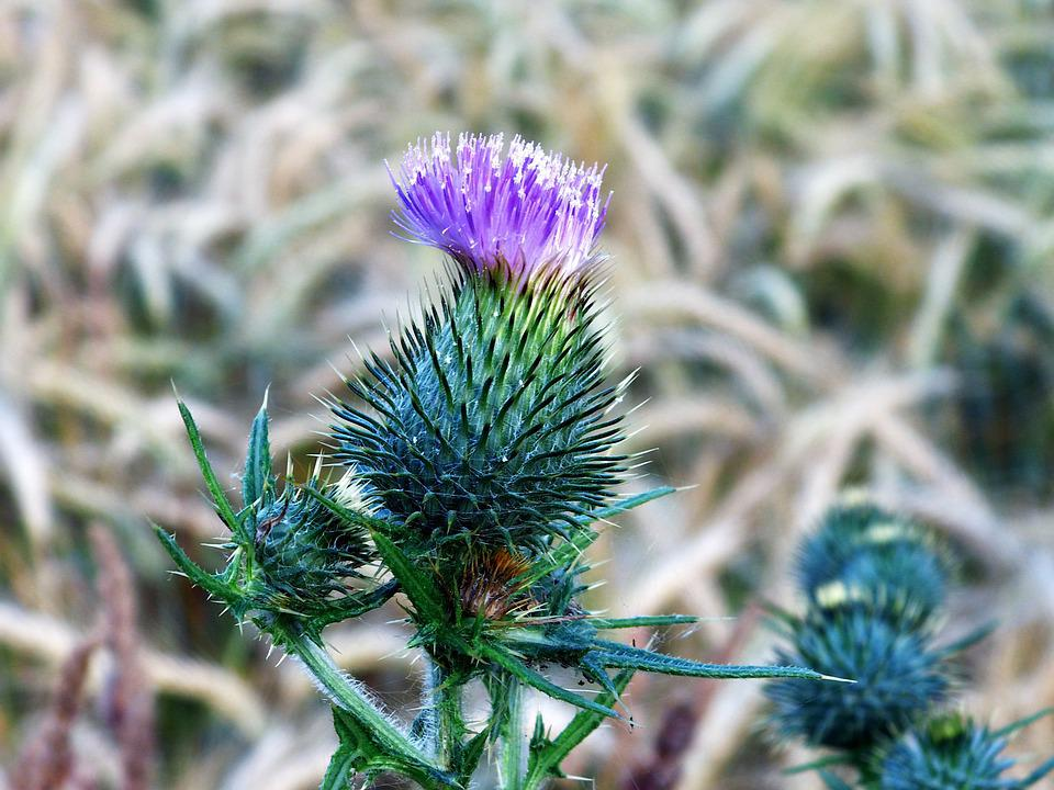 Thistle, Blossom, Bloom, Close Up, Wayside