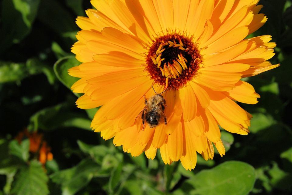 Marigold, Calendula, Flower, Orange, Blossom, Close-up