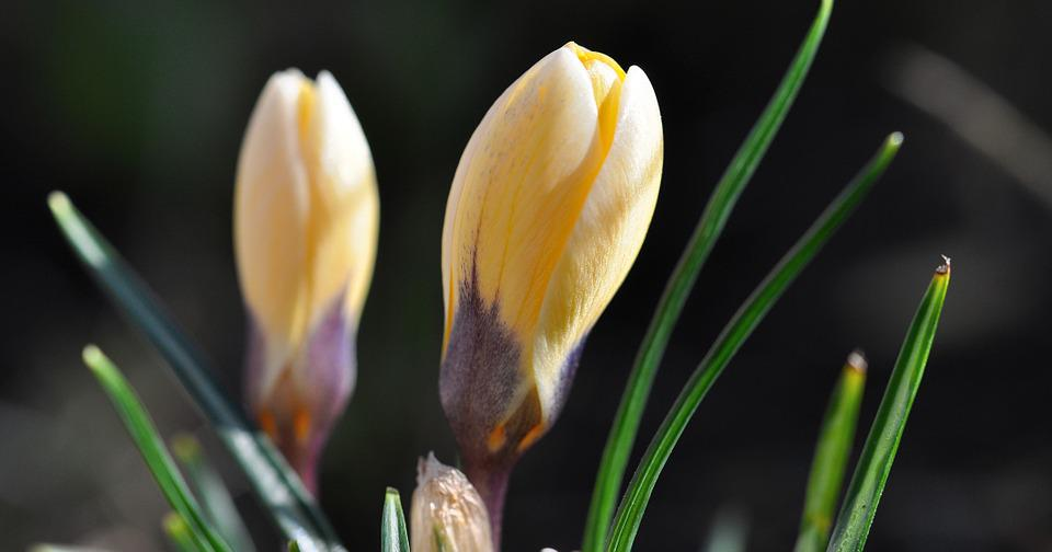 Crocus, Flower, Blossom, Bloom, Plant, Yellow, Closed