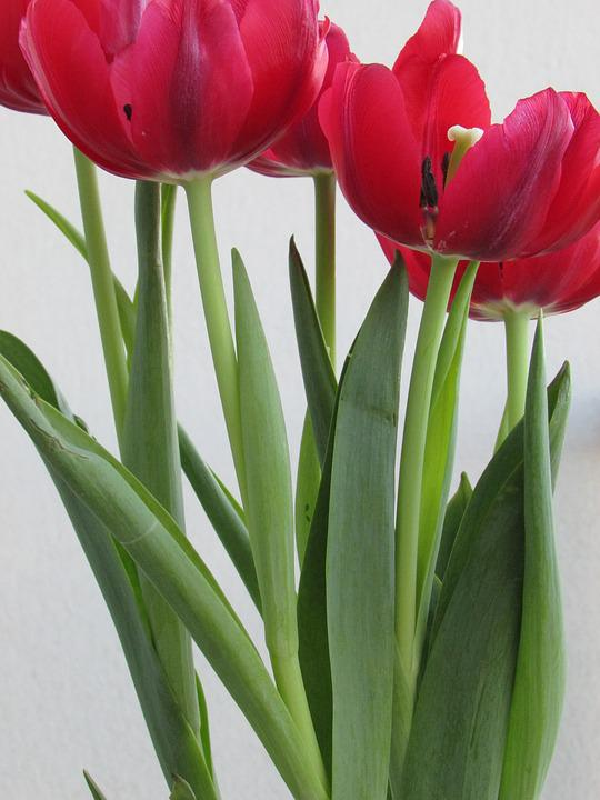 Flowers, Tulips, Red, Spring, Blossom, Color, Romantic