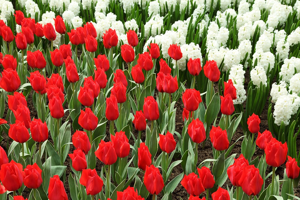 Beautiful, Bloom, Blossom, Color, Colorful, Dutch