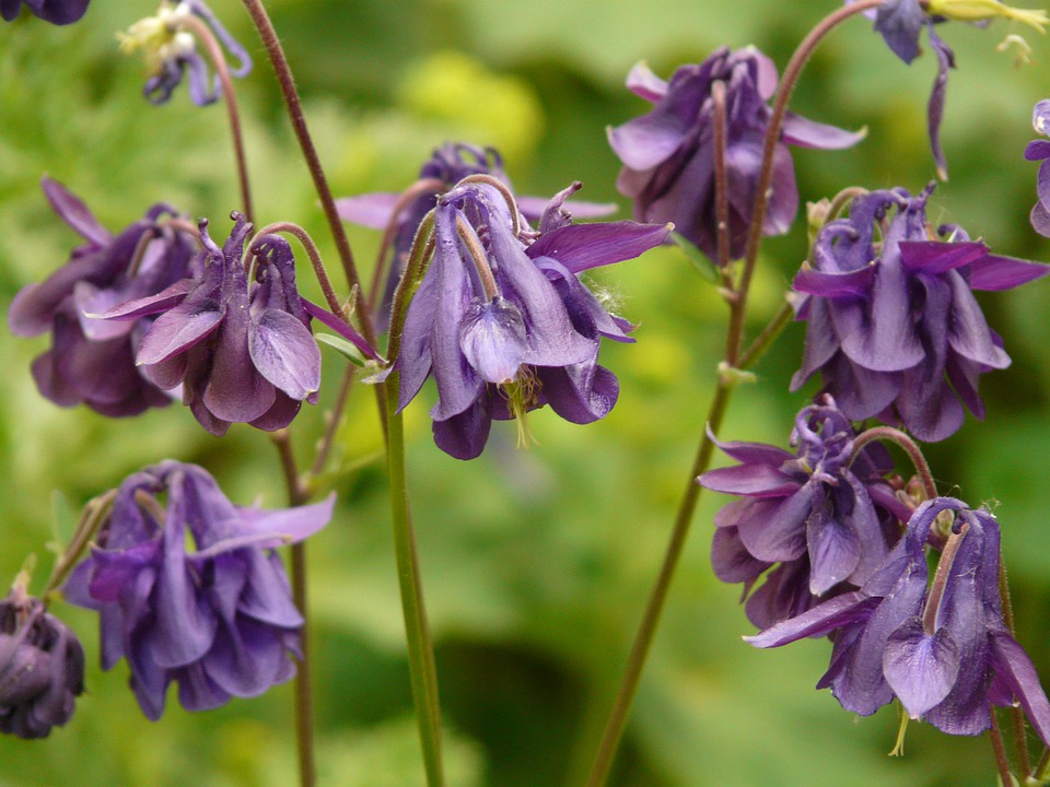 Common Akelei, Columbine, Flower, Blossom, Bloom, Plant
