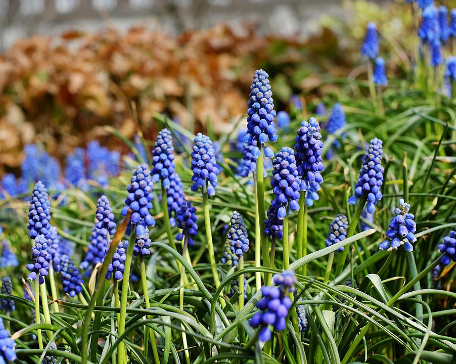Muscari, Common Grape Hyacinth, Blossom, Bloom, Flower